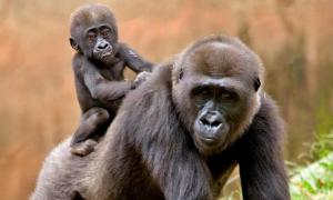 zoo atl gorillas