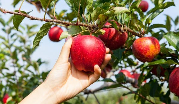 Apple Festivals & U-pick Orchards